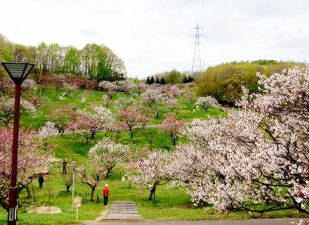 札幌、平岡公園の梅林