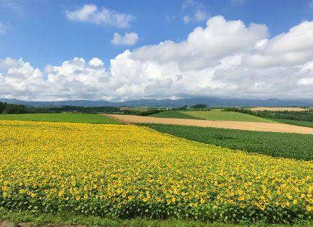 美瑛町 黄金色の小麦とひまわり